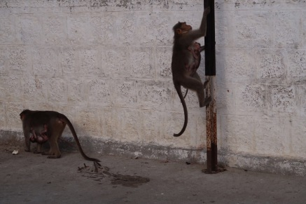 Monkey also have there space in India.